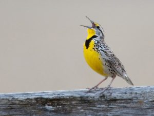 Gaia's voice through the western meadowlark