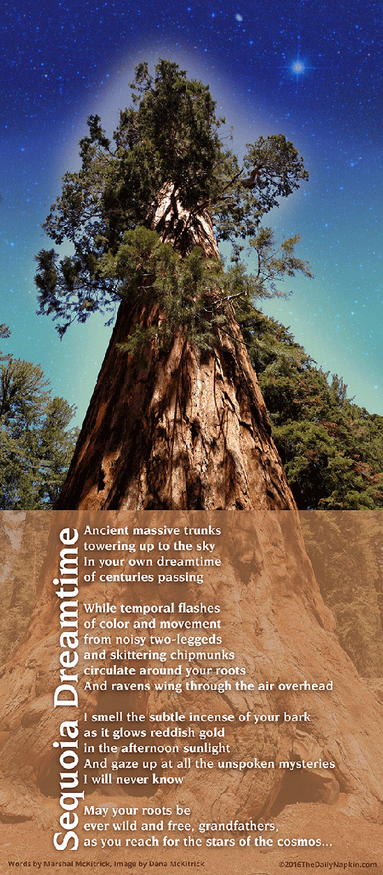 Sequoia Dreamtime - Ancient massive trunks towering up to the sky in you own dreamtime of centuries passing...