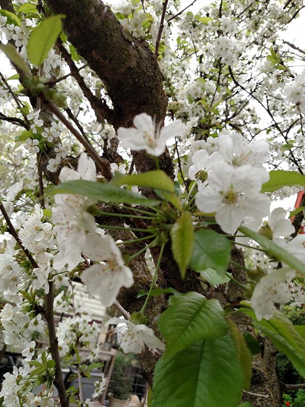 Spring cherry blossoms
